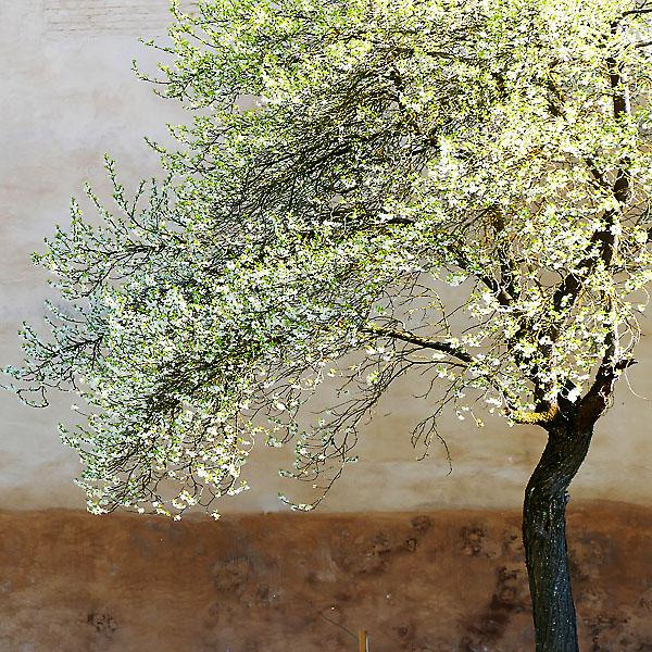 Mauerbaum im Frühling