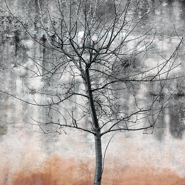 Mauerbaum, blattlos